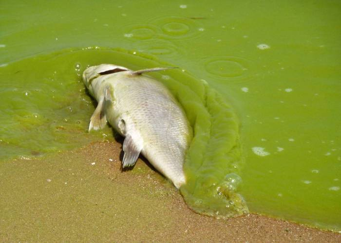 Severe algae bloom in Lake Erie kills fish