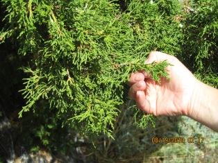 Arborvtae
