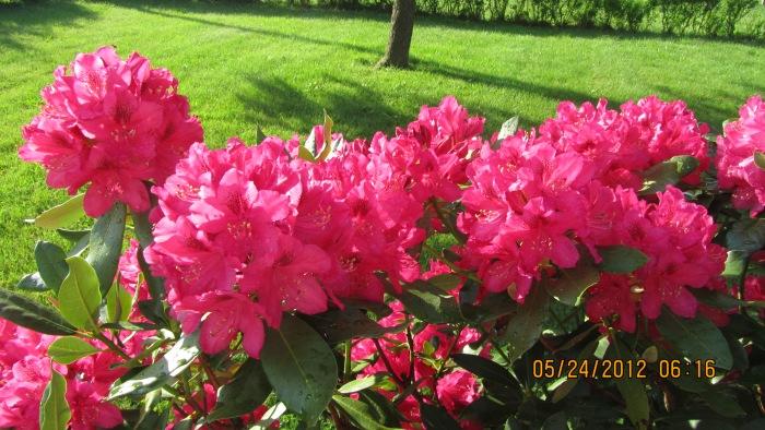 Rhododendron bush in full bloom
